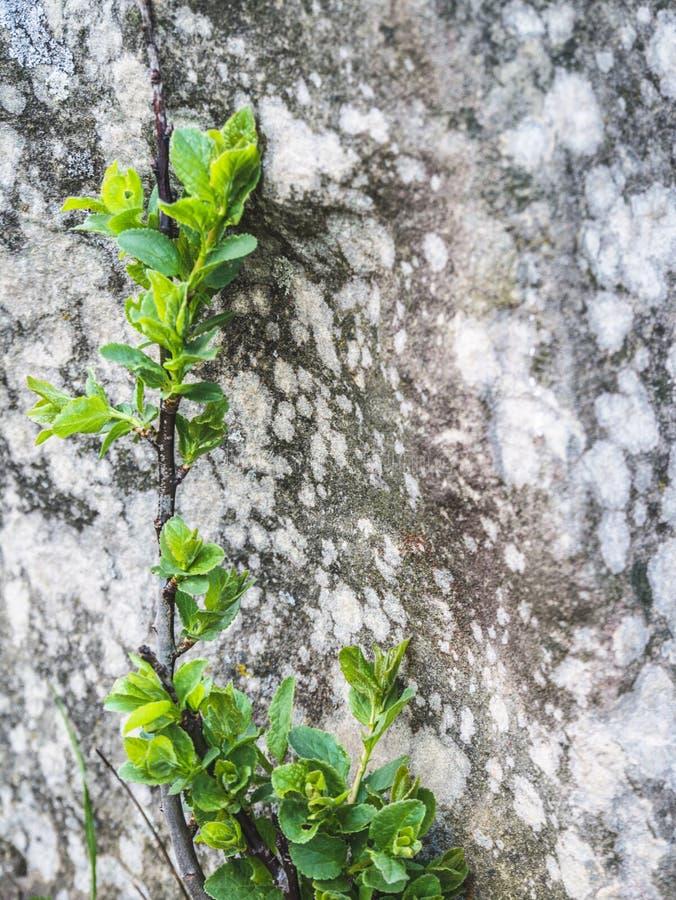 岩石背景的小绿色植物  免版税库存图片