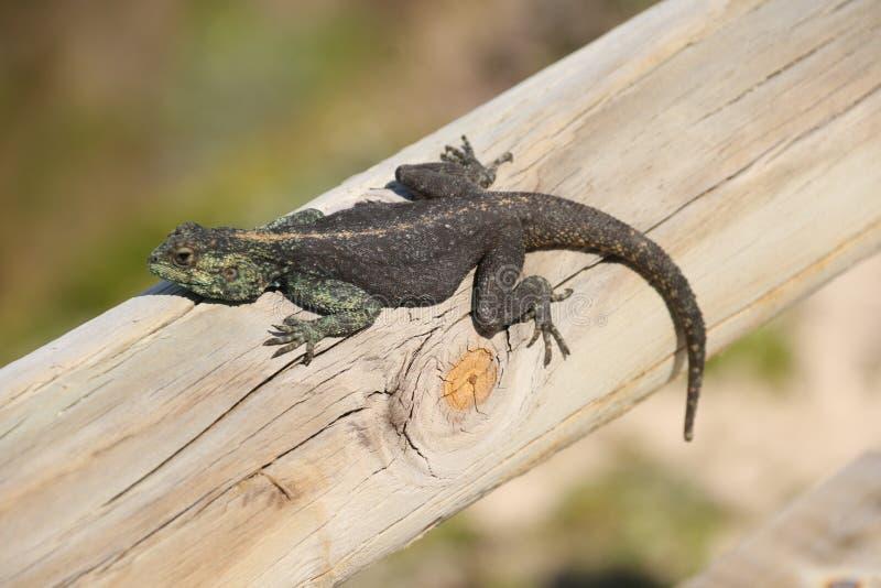 岩石蜥蜴蜥蜴 免版税库存图片