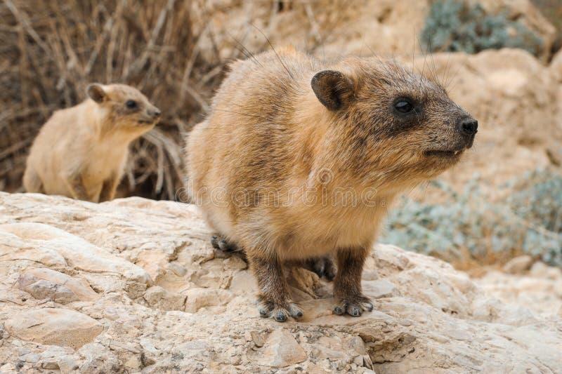 岩石非洲蹄兔和婴孩 免版税库存照片