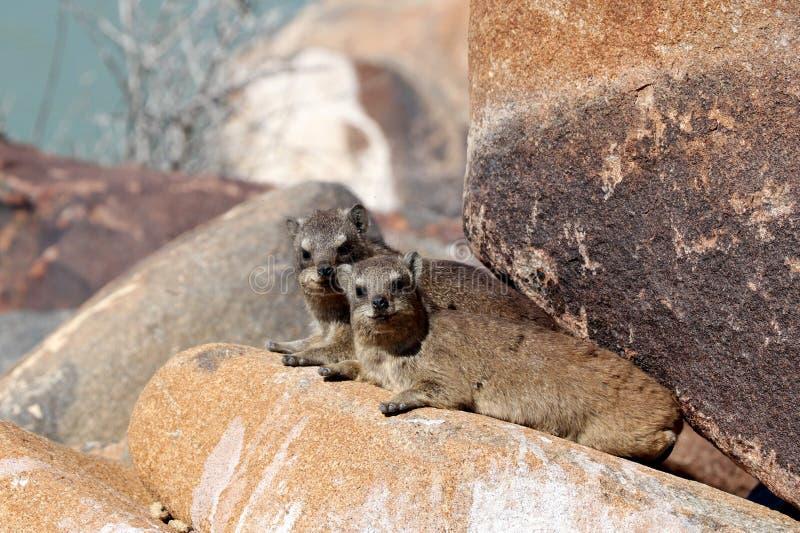 岩石非洲蹄兔在基特曼斯胡普-纳米比亚非洲附近的颤抖树森林里 库存图片