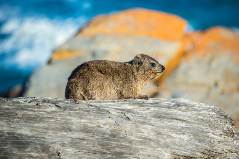 岩石非洲蹄兔或Dassie在Tsitsikamma国家公园,南非 库存照片