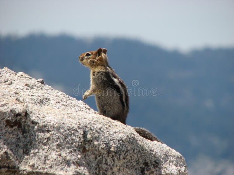 岩石高山花栗鼠的山腰 免版税图库摄影