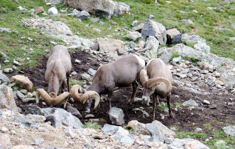 岩石mountian大垫铁绵羊 库存图片