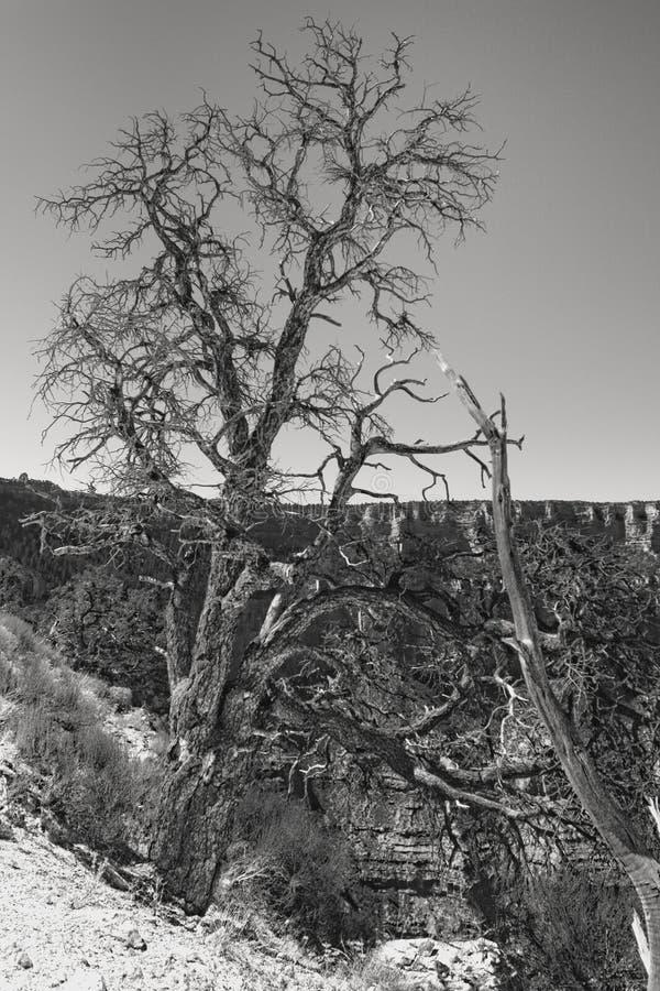 峡谷干燥全部结构树 免版税库存照片