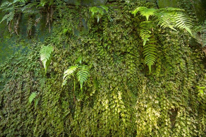 峡谷蕨绿色墙壁 库存图片