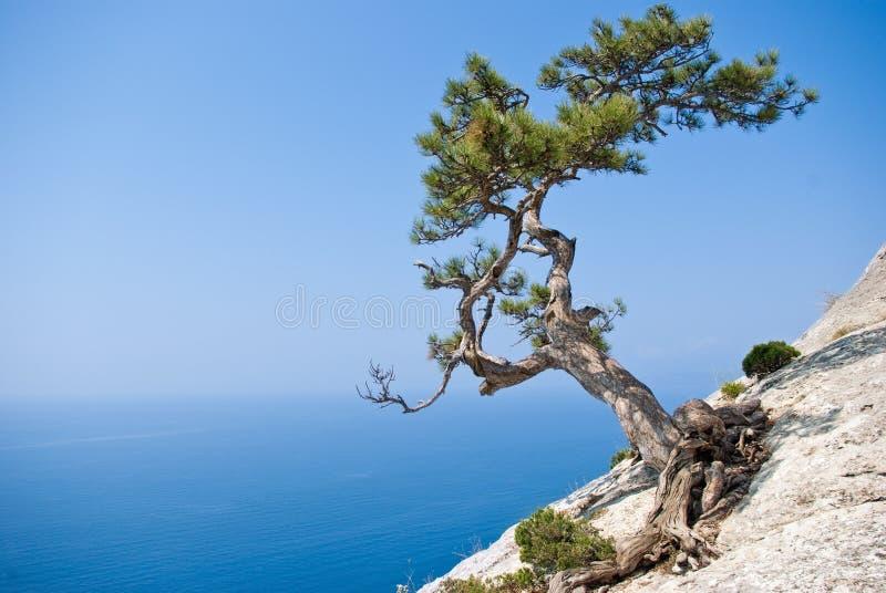 峭壁边缘冷杉孤立结构树 免版税图库摄影