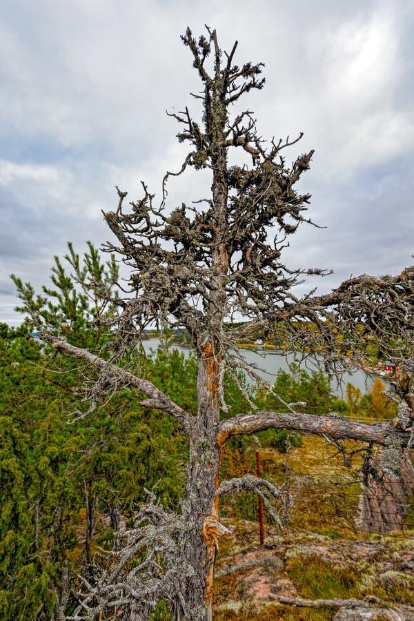 峭壁边缘冷杉孤立结构树 库存照片