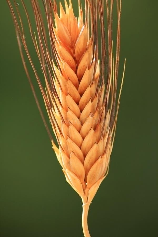 峰值麦子 免版税图库摄影