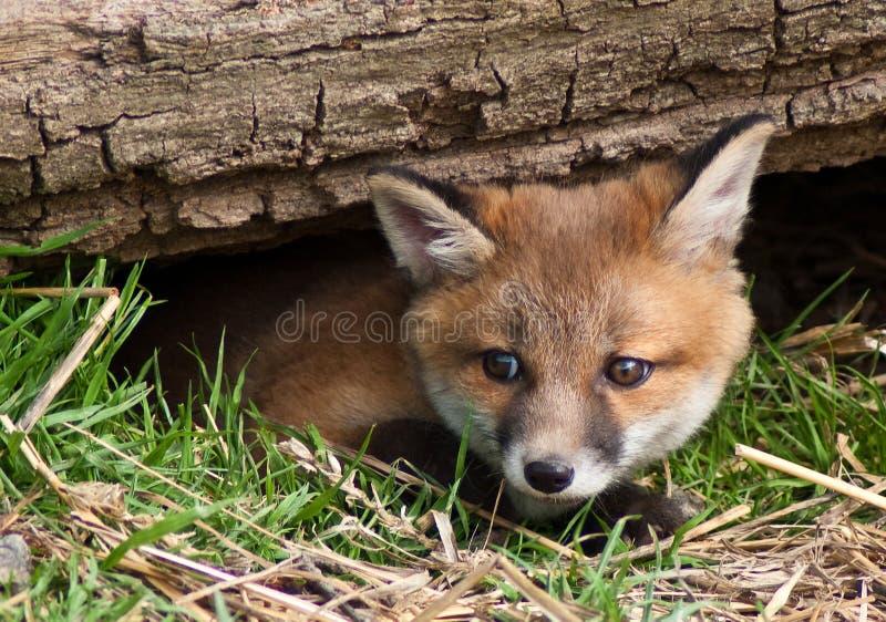 崽狐狸红色 免版税库存图片