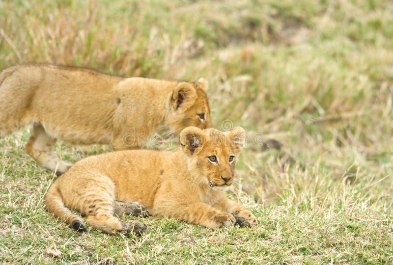 崽狮子年轻人 免版税库存照片