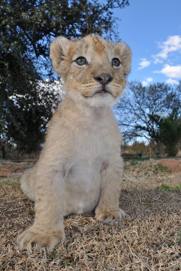 崽狮子年轻人 库存图片