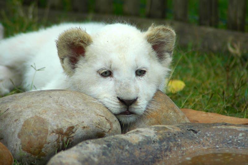 崽狮子白色 免版税图库摄影