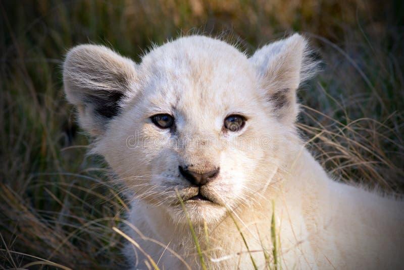 崽狮子白色 免版税库存照片
