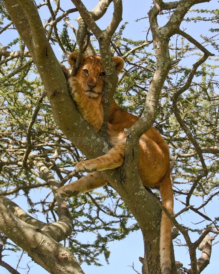崽被楔住的狮子结构树 免版税图库摄影