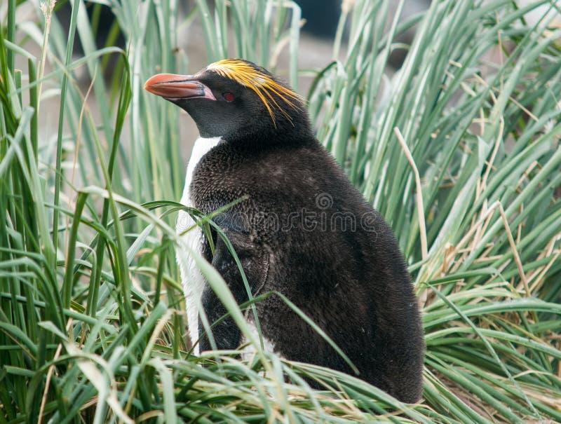 嵌套在丛草,南乔治亚的通心面企鹅 免版税库存图片