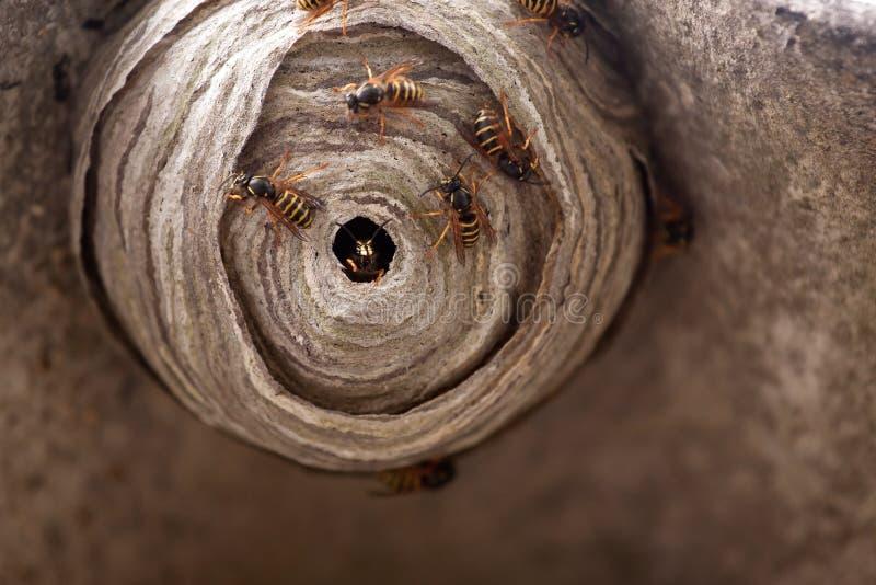 嵌套黄蜂 库存图片