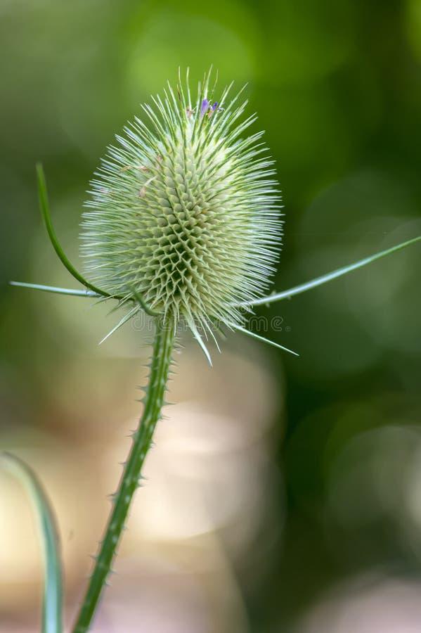 川续断属fullonum退了色开花的花,高植物在开花以后,装饰共同的起毛机 库存图片