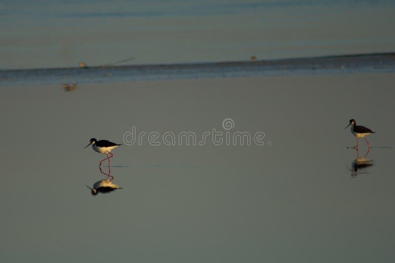 巡逻索尔顿湖shallows的黑收缩的高跷 库存图片