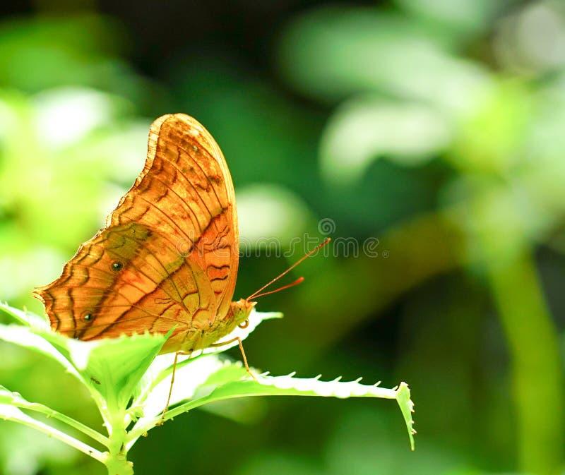 Download 巡洋舰蝴蝶在庭院里 库存照片. 图片 包括有 browne, 巡洋舰, 公园, beautifuler, 夏天 - 72352512