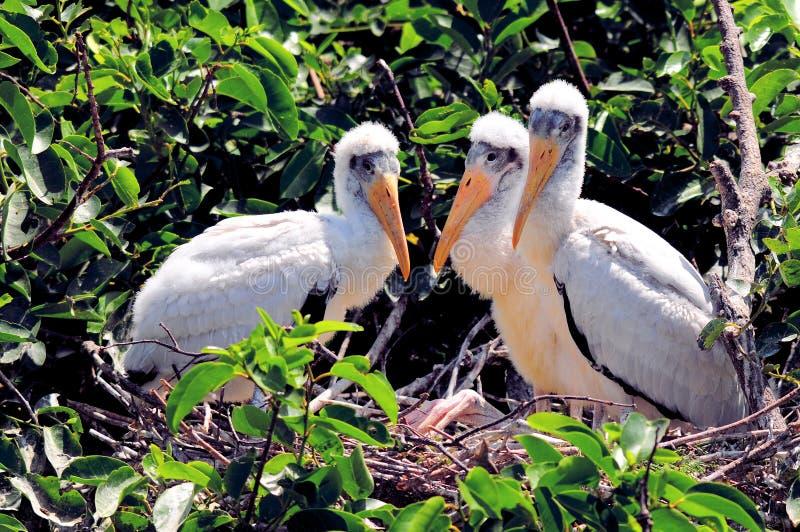 巢的白木鹳婴孩在沼泽地 免版税库存照片