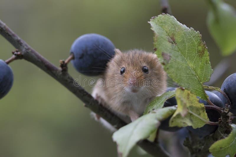 巢鼠,老鼠关闭画象坐蓟,玉米,麦子,荆棘,黑刺李,雏菊,花 免版税库存图片