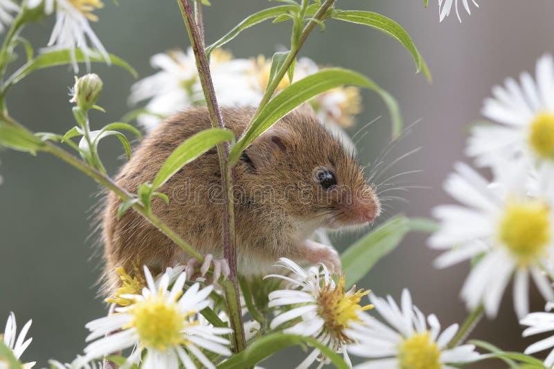巢鼠,老鼠关闭画象坐蓟,玉米,麦子,荆棘,黑刺李,雏菊,花 库存图片