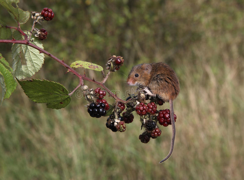 巢鼠, Micromys Minutus 免版税库存图片