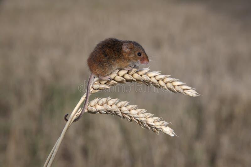 巢鼠, Micromys Minutus 库存图片