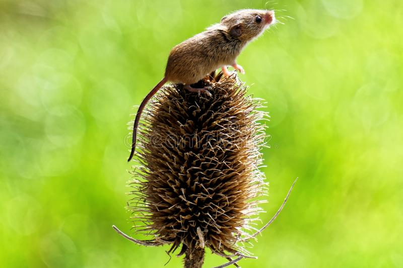 巢鼠 库存照片