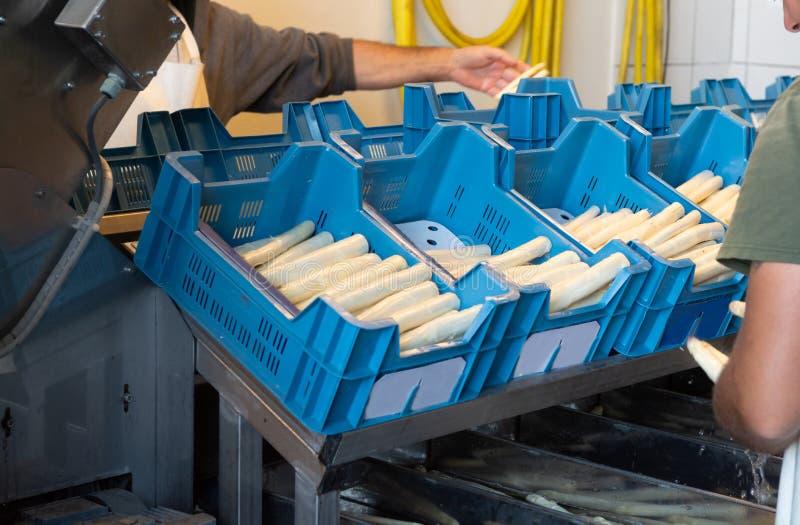 工业处理和洗涤白色芦笋菜o 库存图片