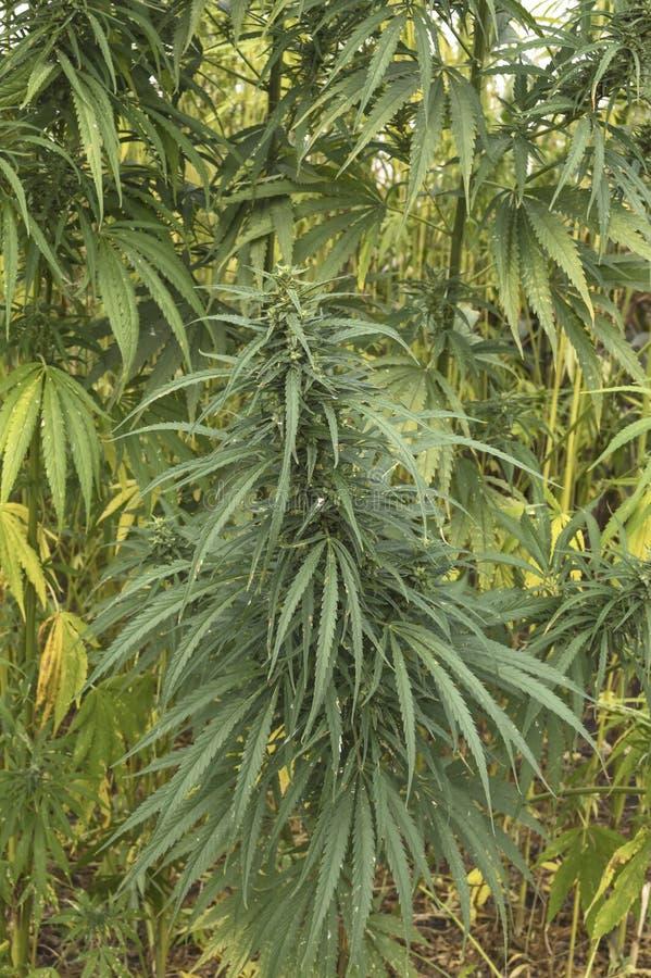 工业用大麻领域细节为纤维增长的 免版税库存照片