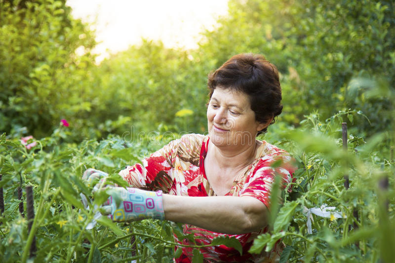 工作在一个菜园里的资深妇女栓蕃茄 库存图片