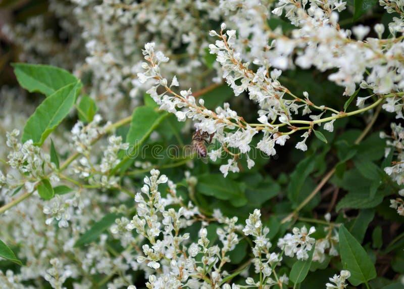 工作在上升的植物白花的蜂 免版税图库摄影