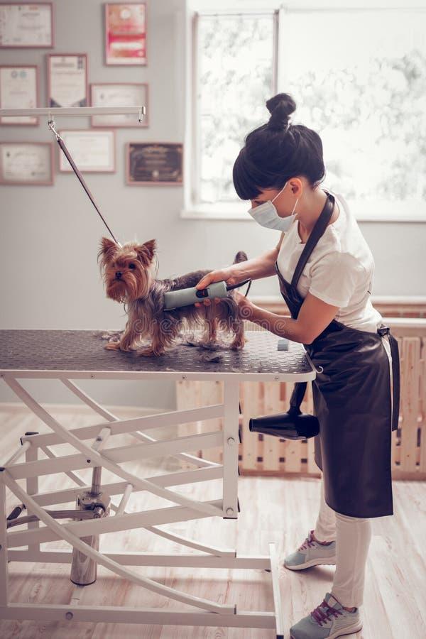 工作在修饰沙龙的妇女刮逗人喜爱的小犬座 库存照片