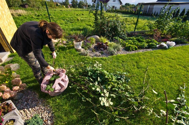 工作在庭院里的妇女,切开植物的剩余枝杈 库存照片