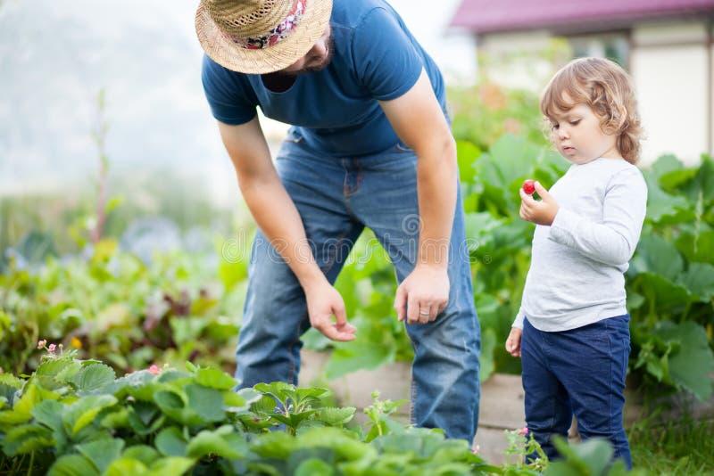 工作在庭院里的年轻人农夫,摘他的女儿的草莓 免版税库存照片