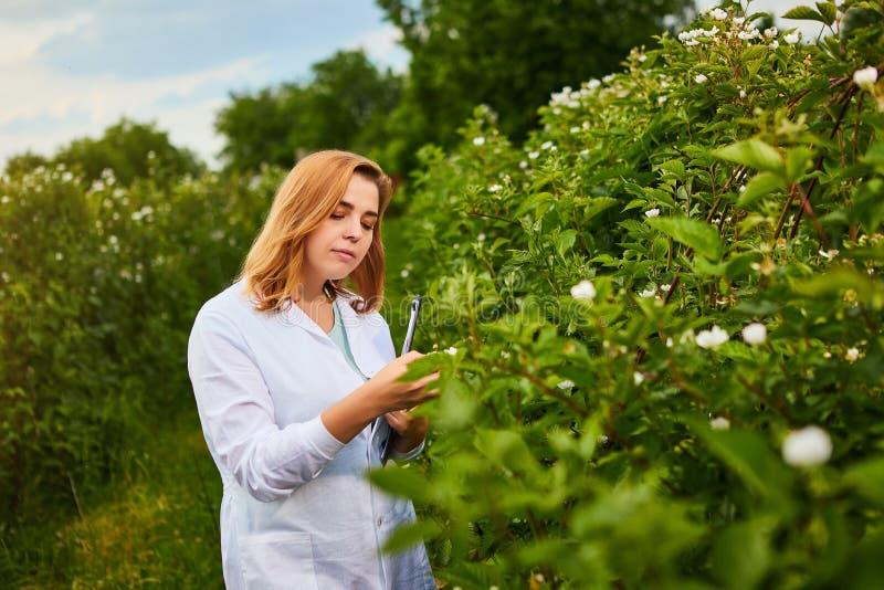 工作在果子庭院里的妇女科学家 生物学家审查员审查黑莓灌木 免版税库存照片