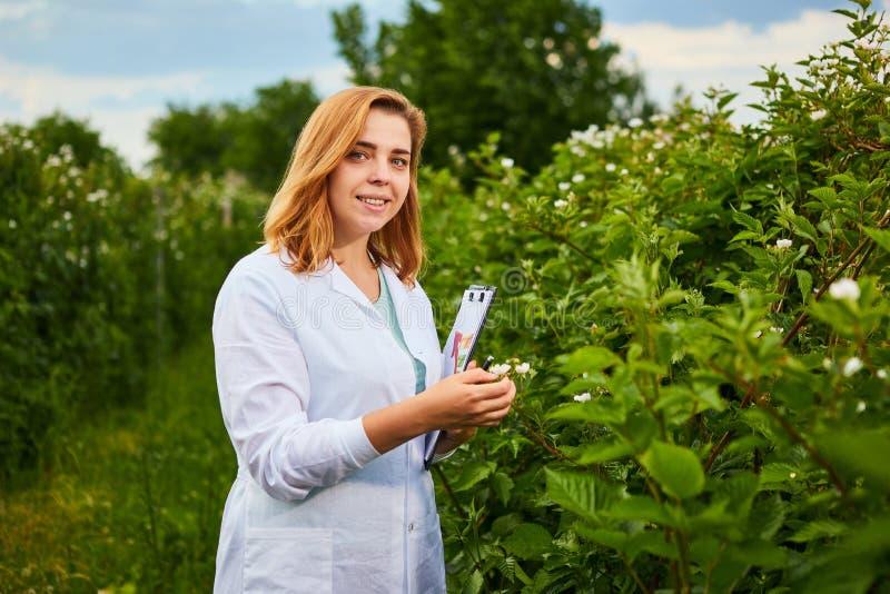 工作在果子庭院里的妇女科学家 生物学家审查员审查黑莓灌木 免版税库存图片