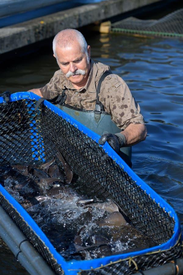 工作在水中的渔场资深雇员 库存图片