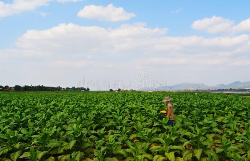 工作在烟草田的农夫 免版税图库摄影