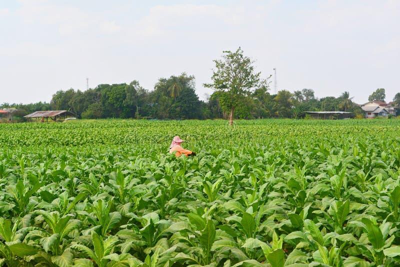 工作在烟草田的农夫 库存照片