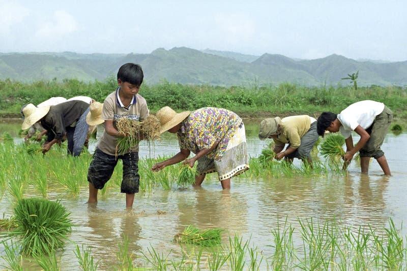工作在米的年轻和老菲律宾人调遣 免版税库存图片