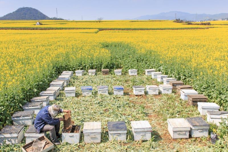 工作在罗平中的油菜籽花田的蜂农在云南中国 罗平为bl的油菜籽花是著名的 免版税库存图片
