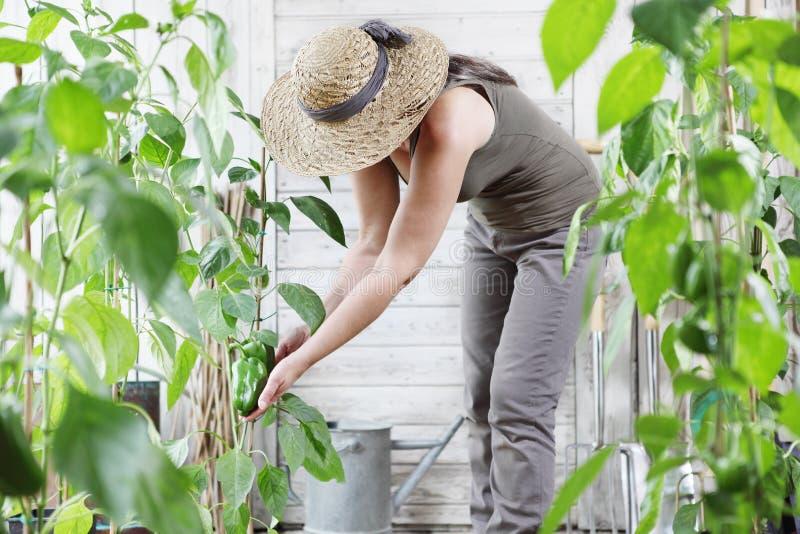 工作在菜园里的妇女,检查绿色甜椒gro 免版税库存照片