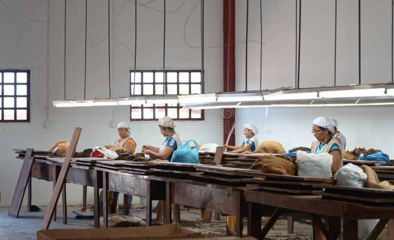 工作在雪茄工厂的妇女 库存照片