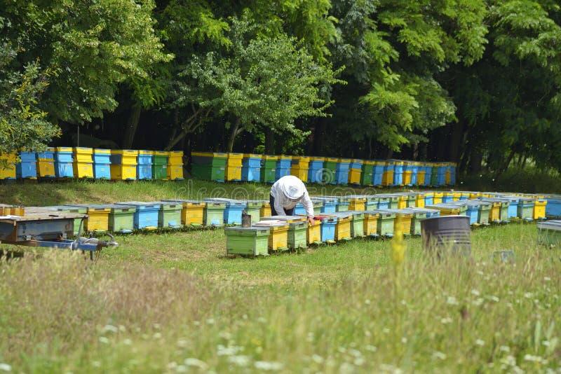工作在他的蜂房的老练的资深蜂农 免版税库存图片