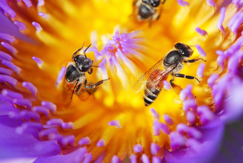 工作在紫色莲花里面的蜂 免版税库存照片