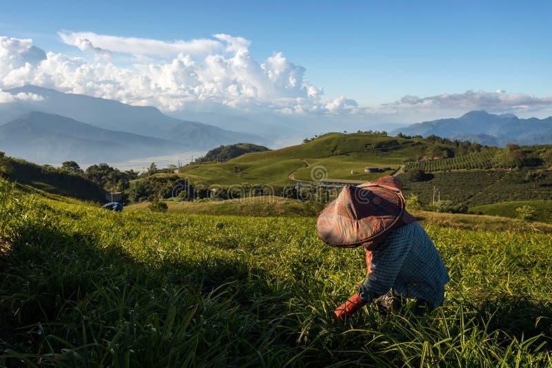工作在黄花菜的农夫在台湾调遣 库存照片