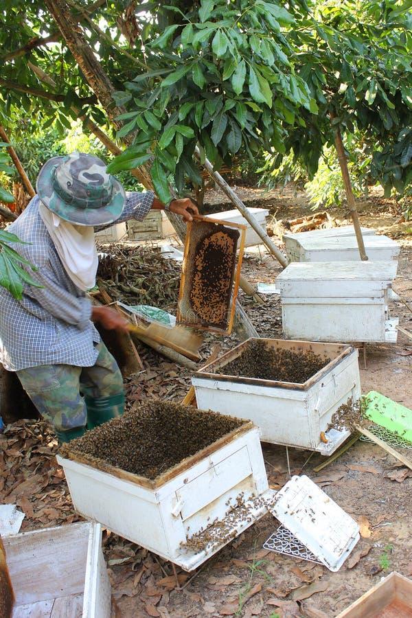 工作的养蜂家和框架与蜂 库存图片