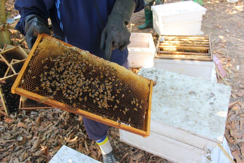 工作的养蜂家和框架与蜂 免版税库存图片